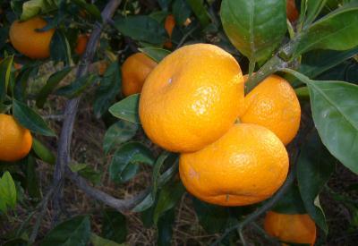 Mandalina'daki zengin besin değerleri